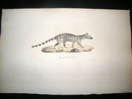 Saint Hilaire & Cuvier C1830 Folio Hand Colored Print. Barbary Genet